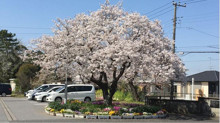 桜の木花壇(満開.JPG